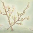 22 温室咲きの桜